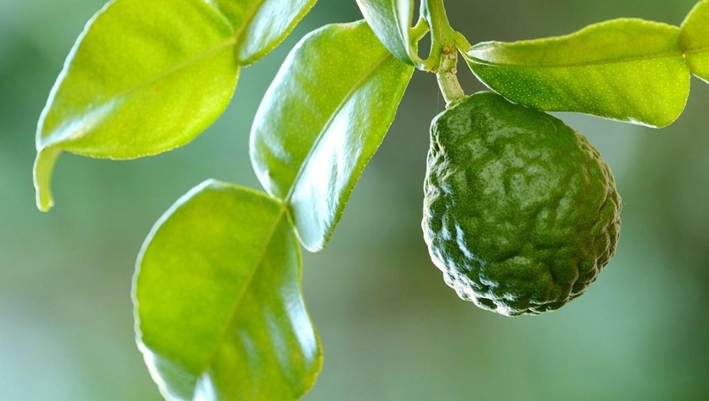 Propiedades medicinales del aceite esencial de bergamota