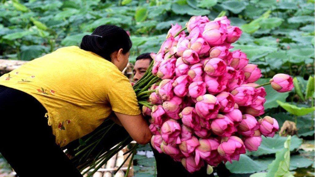 Cultivo de la flor de loto