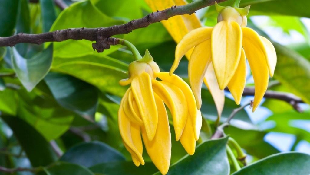 ¿Cómo se extrae el aceite de ylang ylang?