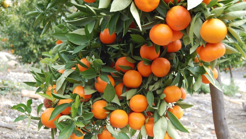 Características de la mandarina