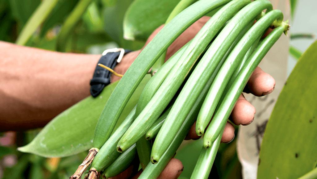 Cultivo de la vainilla