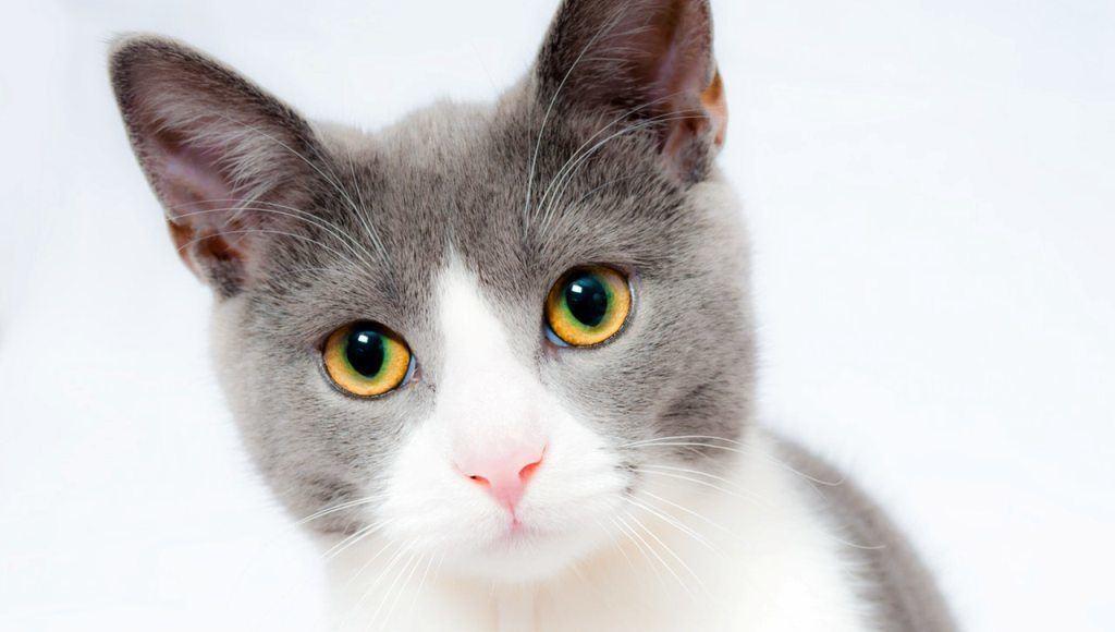 Aceite de citronela para ahuyentar gatos