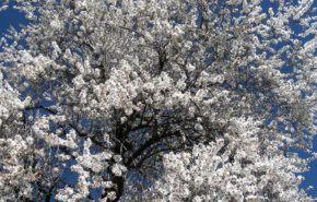 Almendras: Contraindicaciones, Alergias, Beneficios, Recetas y Variedades