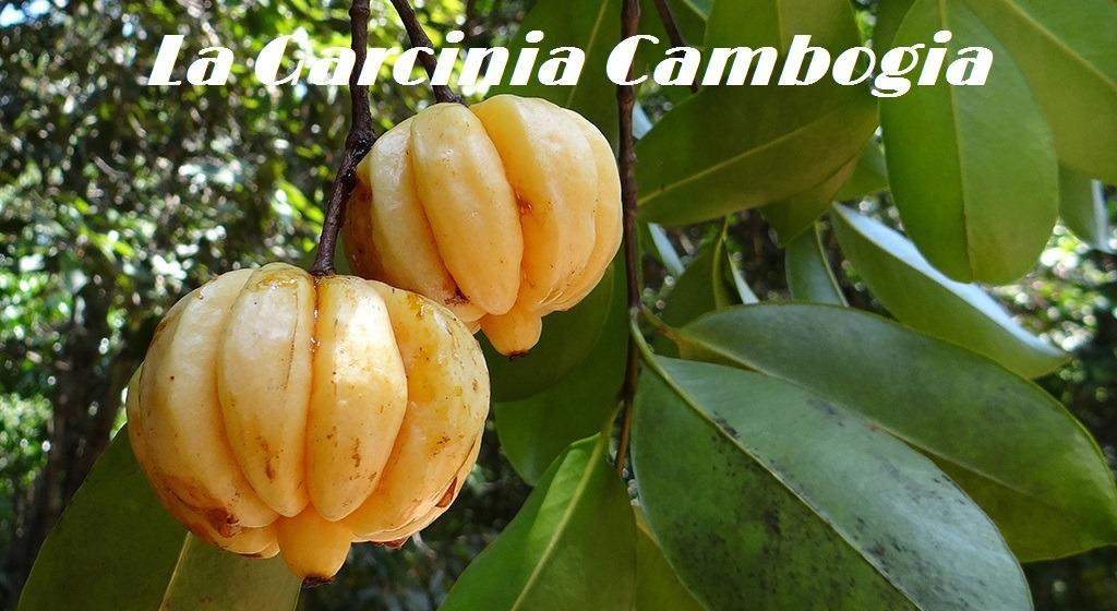 Conociendo la Garcinia Cambogia
