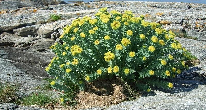 Planta de Rhodiola Rosea