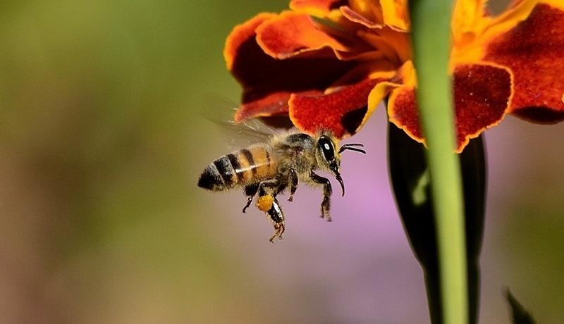 Las abejas obtienen el néctar de las flores