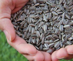 Semillas de Girasol: Contraindicaciones, Beneficios, Propiedades y Alergias
