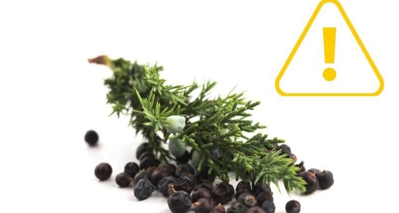 Contradicciones y efectos secundarios de las bayas de enebro