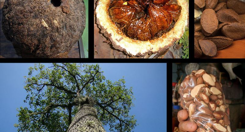 Descripción del Aceite de Nuez de Brasil