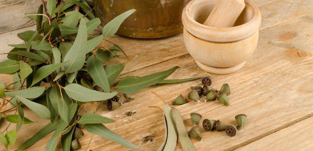 Como se extrae el aceite de eucalipto