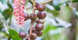 Árbol de Macadamia: Cuidados, Cultivo y Características