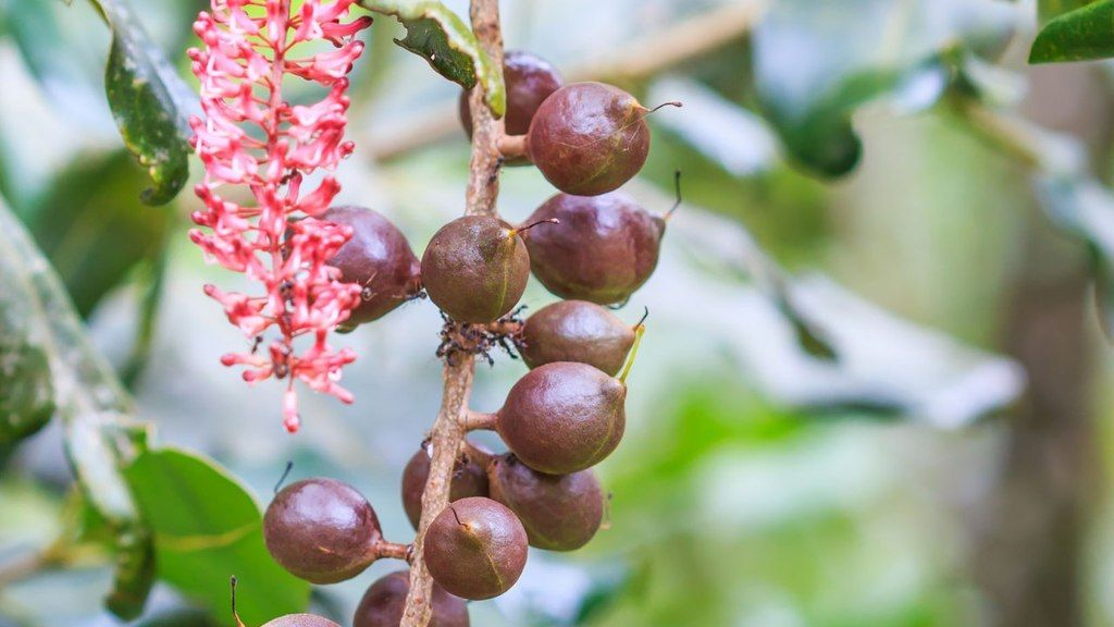 Arbol macadamia