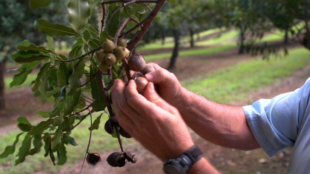 Cuidados del árbol de macadamia