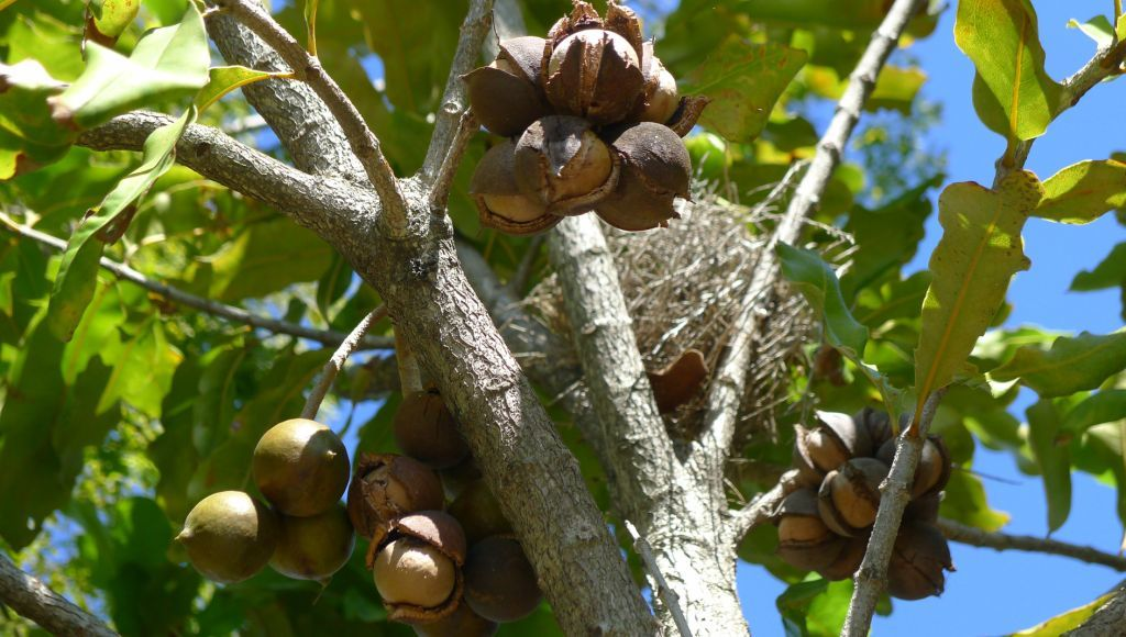 Características del árbol de macadamia