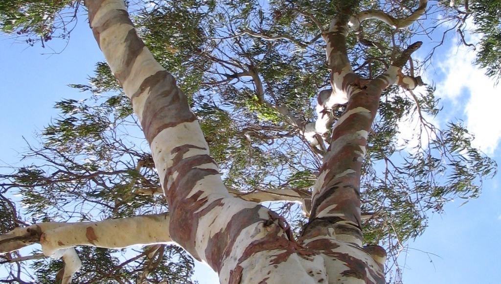 Caracteristicas del eucalipto