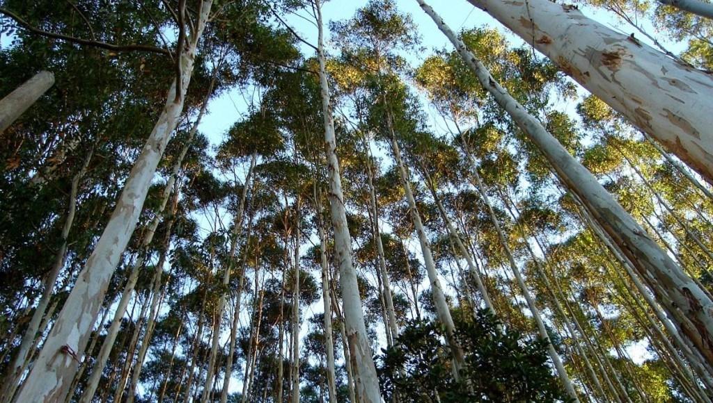 Ventajas y desventajas de usar eucalipto