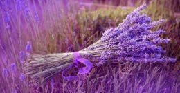 Planta de Lavanda: Cuidados, Contraindicaciones y Usos Medicinales