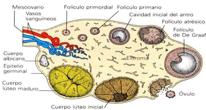 caracteristicas del cuerpo luteo