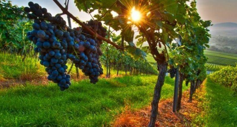 nombre cientifico de las uvas