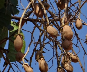Aceite de Copaiba – Beneficios, Contraindicaciones, Aplicaciones y Qué es