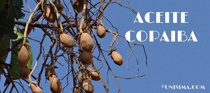 Árbol copal amazónico, semillas de extración aceite de copaiba
