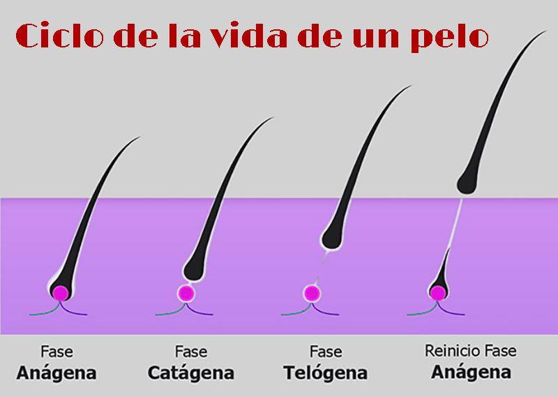 Infografía del ciclo de la vida del cabello