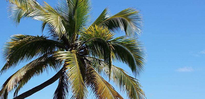 ¿Funciona el extracto de palmera enana americana?