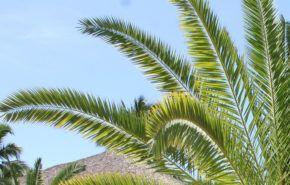 Palma enana americana o Saw Palmetto: Contraindicaciones y Beneficios para la caída del cabello y la hiperplasia de próstata