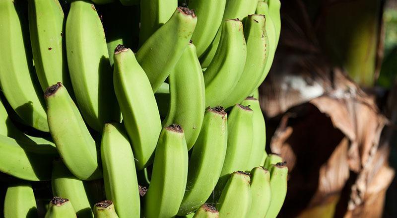 piña de plátanos verdes en árbol