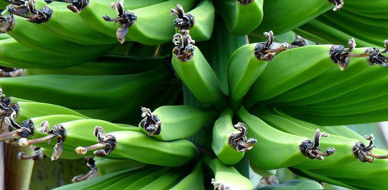 plátanos verdes envueltos
