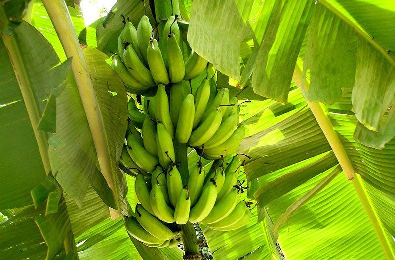 racimo de plátanos verdes en árbol