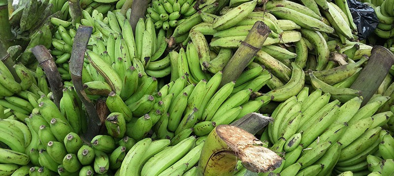 racimos de plátanos verdes cortados