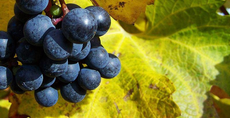 Aceite vegetal de semillas de uva
