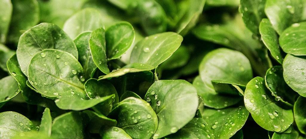 Hojas verdes Beneficios