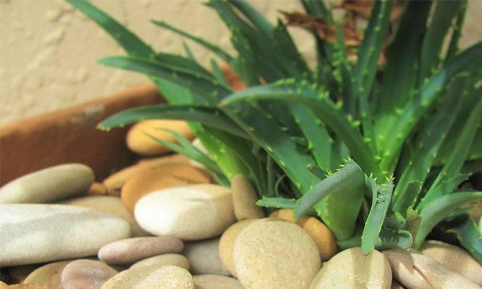 Aloe vera decorativa en casa