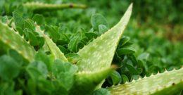 8 Recetas con Aloe Vera para la Piel y el Cabello