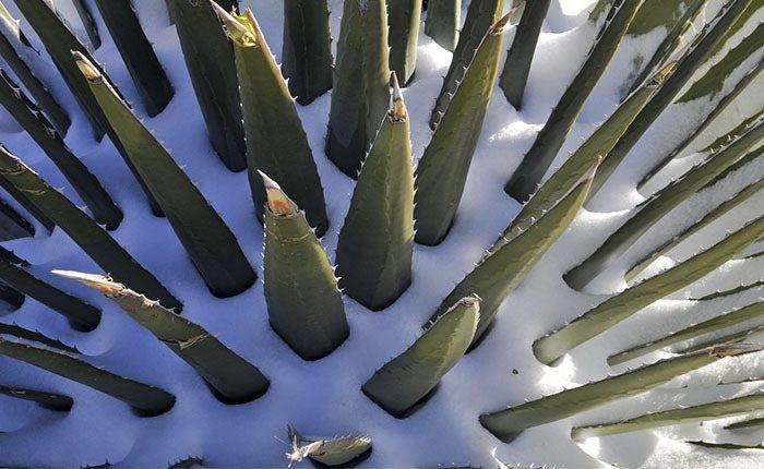 Aloe Vera durante el invierno