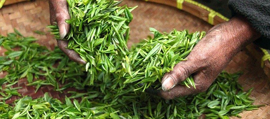 Procesado Té Matcha y Té verde