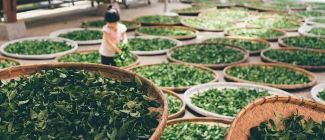 Té Verde y Té Matcha cosecha