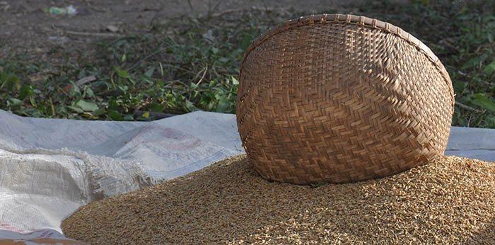 Recogida de cosecha de arroz