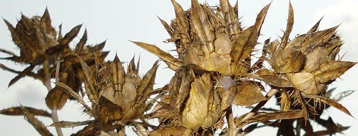 Extracción de semillas cártamo para aceite