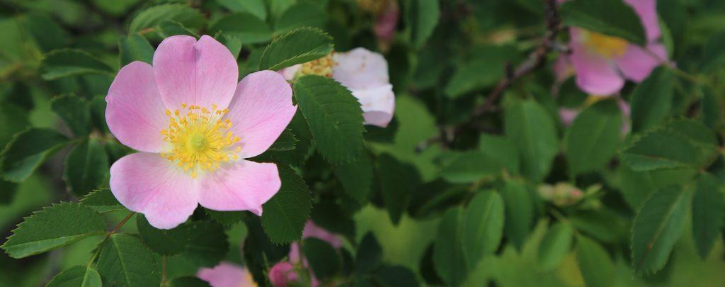 aceite de rosa mosqueta orgánico