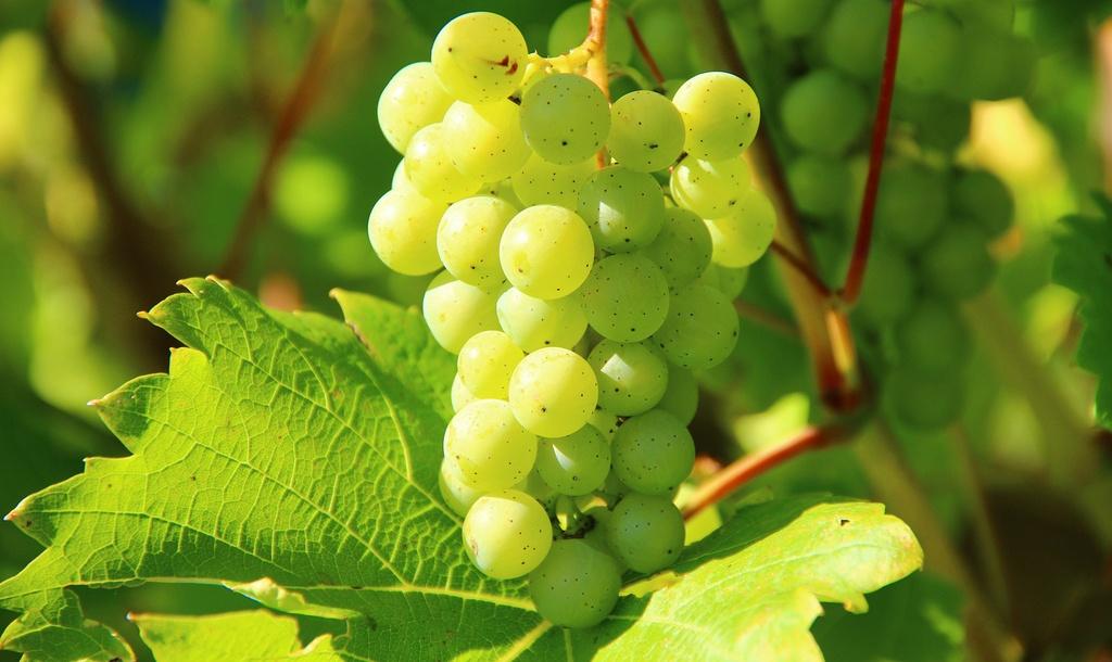 aceite de semilla de uva orgánico
