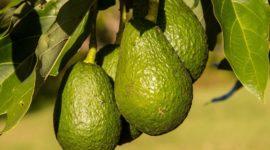 Cultiva y cuida correctamente tu árbol de aguacate