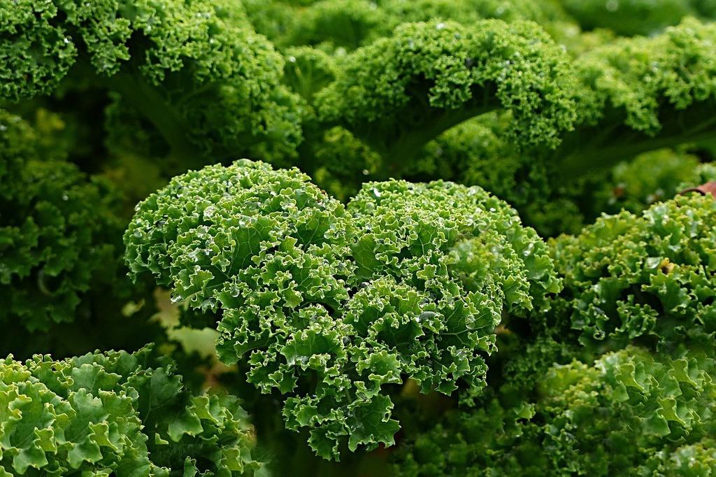 El kale hervido es bueno para la salud