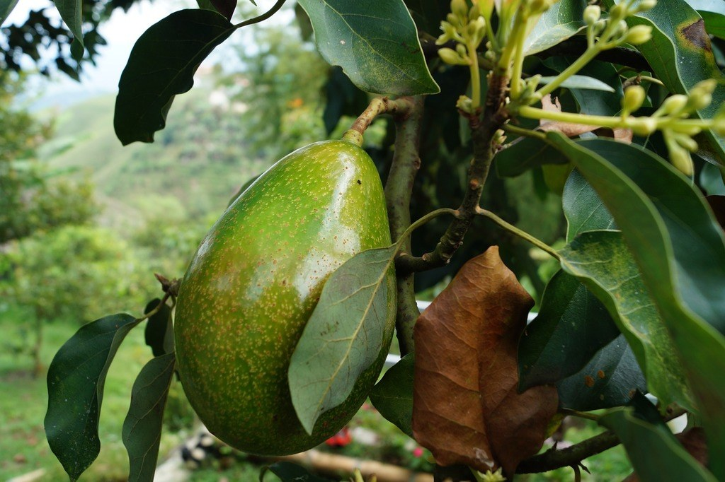 Origen e historia del árbol de aguacate